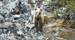 bear on rocks